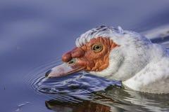 Simning för Muscovy and i dammet royaltyfria bilder
