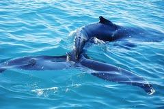 Simning för puckelryggval i Crystal Clear Waters Royaltyfria Foton