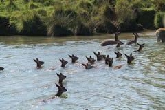 Simning för röda hjortar arkivbild