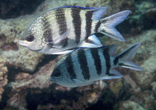 simning för rött hav för fisk Royaltyfri Bild