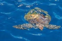 Simning för sköldpadda för grönt hav i ett blått havsvatten Ljust solljus med blänker mousserar sand finast stora öar för närgrän arkivfoto