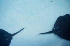 Simning för stråle för manta två i en behållare Arkivfoto