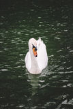 Simning för stum svan i sjön Royaltyfri Fotografi