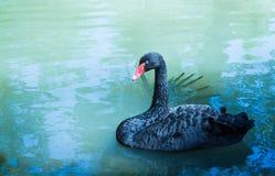 Simning för svart svan i dammet härlig swan arkivfoto