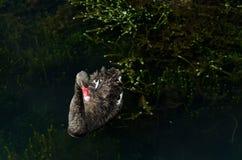 Simning för svart svan till och med en mörk vattensjö Arkivfoton
