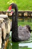 Simning för svart swan Royaltyfri Foto