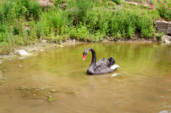 simning för svart swan Royaltyfri Fotografi