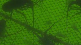 Simning för taggig hummer i vatten på att fiska lantgården Stenig hummer för avel och för odling, kräfta, langust på fiske lager videofilmer
