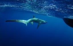 Simning för tröskverkhaj i det undervattens- havet arkivfoton