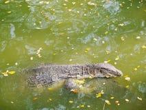 Simning för tropiskt djurliv för Varanussalvator djur i floden Royaltyfri Foto