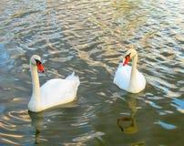 Simning för två svanar i vatten arkivbild