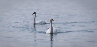 Simning för två svanar i vatten royaltyfri bild