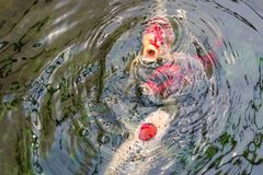 Simning för utsmyckad karpfisk- eller Koi fisk och väntande på mat i dammet, rörelse av simning arkivfoton