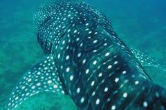 Simning för valhaj i kristallklart blått vatten på Maldiverna arkivbild