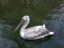 Simning för vit pelikan på vattnet i den Antwerp zoo Arkivbilder