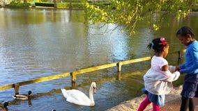 Simning för vit svan och för svart and Royaltyfria Foton