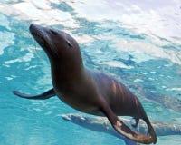 Simning förseglar Arkivfoto