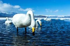 Simning f?r cygnus f?r Whoopersvan eller Cygnusp? sj?n Kussharo i vinter p? Akannationalparken, Hokkaido, Japan, berg som t?ckas  arkivbild
