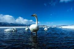 Simning f?r cygnus f?r Whoopersvan eller Cygnusp? sj?n Kussharo i vinter p? Akannationalparken, Hokkaido, Japan, berg som t?ckas  royaltyfri fotografi