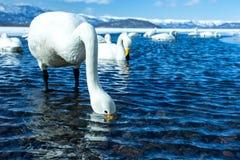 Simning f?r cygnus f?r Whoopersvan eller Cygnusp? sj?n Kussharo i vinter p? Akannationalparken, Hokkaido, Japan, berg som t?ckas  royaltyfria bilder