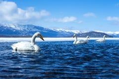 Simning f?r cygnus f?r Whoopersvan eller Cygnusp? sj?n Kussharo i vinter p? Akannationalparken, Hokkaido, Japan, berg som t?ckas  arkivbilder
