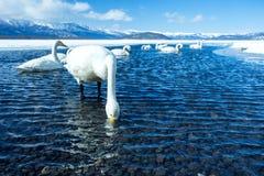 Simning f?r cygnus f?r Whoopersvan eller Cygnusp? sj?n Kussharo i vinter p? Akannationalparken, Hokkaido, Japan, berg som t?ckas  arkivfoton