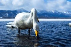 Simning f?r cygnus f?r Whoopersvan eller Cygnusp? sj?n Kussharo i vinter p? Akannationalparken, Hokkaido, Japan, berg som t?ckas  royaltyfri bild