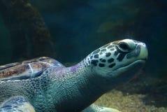 Simning f?r havssk?ldpadda i ett ?ppet fiskakvariumumg?nge En gammal sk?ldpaddasimningdetalj fotografering för bildbyråer