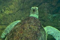 Simning f?r havssk?ldpadda i ett ?ppet fiskakvariumumg?nge En gammal sk?ldpaddasimningdetalj arkivfoton