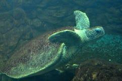 Simning f?r havssk?ldpadda i ett ?ppet fiskakvariumumg?nge En gammal sk?ldpaddasimningdetalj royaltyfri fotografi