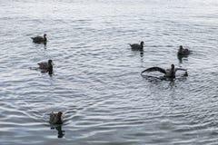Simning f?r j?tte- stormf?gel i fjorden Ushuaia arenaceous arkivfoto