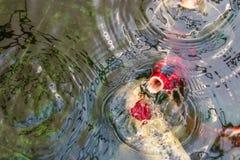 Simning f?r utsmyckad karpfisk- eller Koi fisk och v?ntande p? mat i dammet, r?relse av simning royaltyfri foto