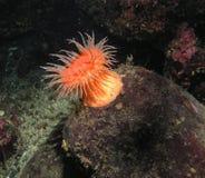 simning för anemondidemonstomphia Arkivbild