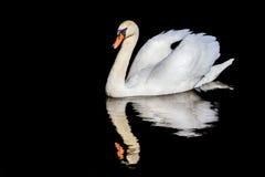 Simning och reflexion för stum svan Arkivbild