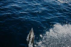 Simningdelfin i vattnet Royaltyfri Bild