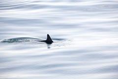 Simningdelfinfena bryter precis yttersidan av vattnet arkivfoton