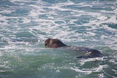 Simningelefantskyddsremsor som lägger på stranden som solbadar i USA Royaltyfri Foto