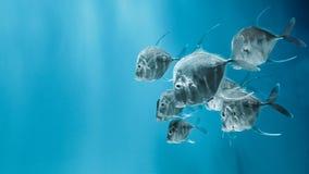 Simningen för lookdown fisk i vattnet Royaltyfri Foto