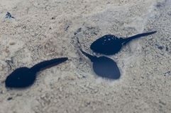 Simninggrodynglar i ett damm Arkivbilder