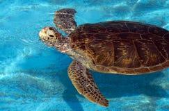 SimningLoggerheadsköldpadda arkivfoto