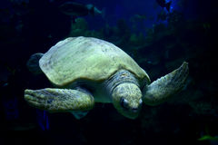 Simningsköldpadda Fotografering för Bildbyråer