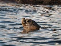 SimningSteller sjölejon fotografering för bildbyråer