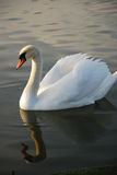 Simningswan på laken Royaltyfria Foton