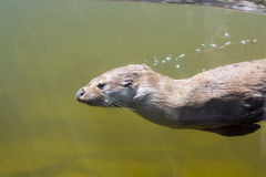 Simningutter (Lutralutraen) Arkivfoton