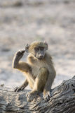 Simon says lift your leg up. A young baboon stretching leg over his head Royalty Free Stock Photo