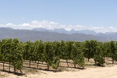 Vines and mountains in the Western Cape. South Africa Royalty Free Stock Photos