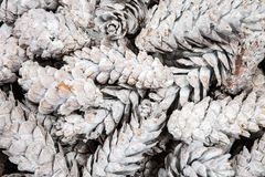Simple background with pine cones painted in white color and composed in heap. Simple background with pine cones painted royalty free stock photos