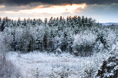 Winter evening sunset in the forest. Interesting pisture and skies. Silence and peace in the forest Royalty Free Stock Photo