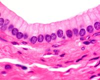 Simple columnar epithelium. Of an excretory duct of the pancreas. Light microscope picture stock images