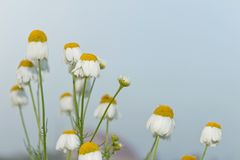 Simple daisies Stock Images
